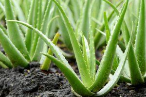Wozu dient Aloe Vera Gel? Alle möglichen Anwendungsweisen von Aloe Vera