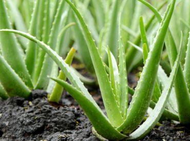 Aloe Vera-Gel ist ein kosmetisches Heilmittel gegen zahlreiche Unvollkommenheiten der Haut und der Haare. Es enthält viele Vitamine und Mineralstoffe, die für unseren Organismus besonders wertvoll sind. Aloe Vera-Gel findet Anwendung insbesondere im Rahmen der alltäglichen Pflege. Zu welchen kosmetischen Zwecken wird es von Frauen benutzt?